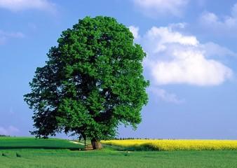 Baum mit Rapsfeld