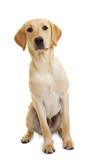 Fototapety Labrador Retriever