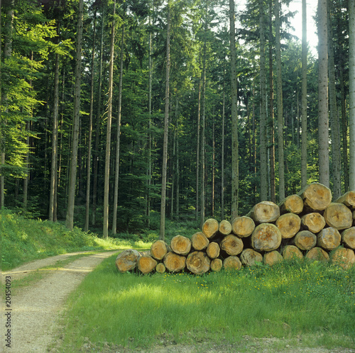 Pine forest with pile of logs