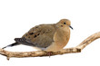 mourning dove cautiously overlooks its surroundings
