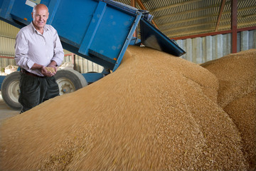 Farmer examining wheat grains being emptied from trailer