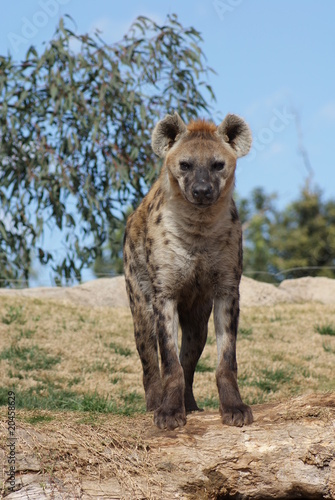 Tuinposter Hyena Spotted Hyena