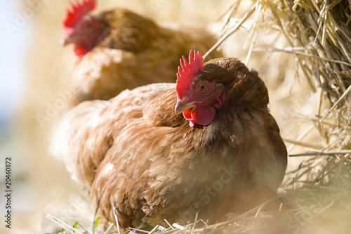 Close up of hens