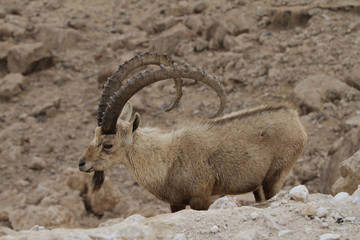 Scimitar horned Ibex