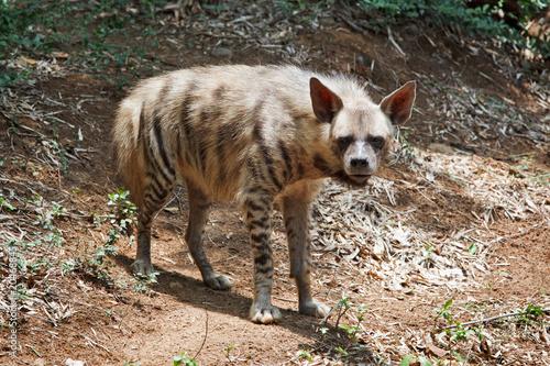 Fotobehang Hyena Striped hyaena