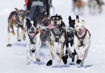 Dog race in the snow