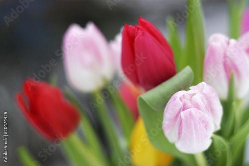Fototapety, obrazy : tulpen