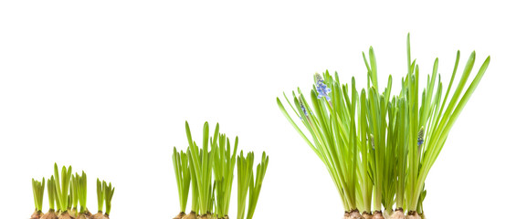 forced muscari bulbs isolated on white