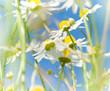 Kamillenblüten, Heilkräuter, sanfte Medizin