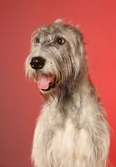 Irish  wolfhound of a red background