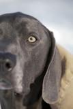 dog stare intense blue weimaraner poster