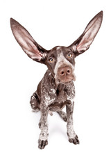 German pointer with long flying ears on white background