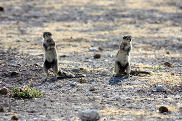 Two squirrels pay attention to dangerous, Namibia, Etosha Park