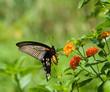 flying swallowtail butterfly feeding