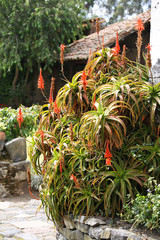 aloe as house decoration