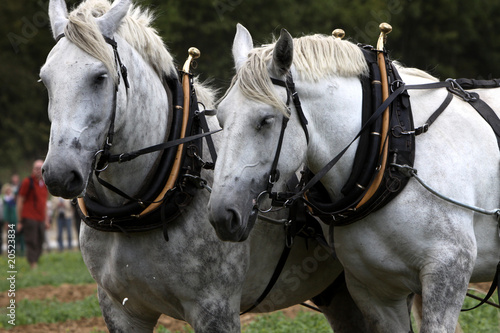 Percheron-Gespann