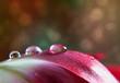 Dew Drop on Tulip