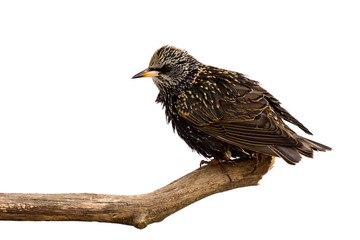 starling surveys the area for food