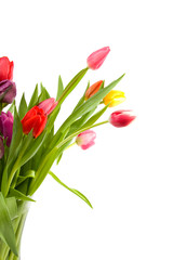 Colorful Dutch tulips over white background