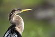 Fototapeta Portret - Ameryka - Ptak