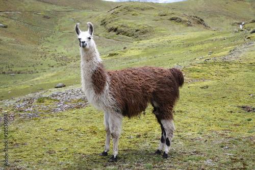 Foto op Plexiglas Lama Llama
