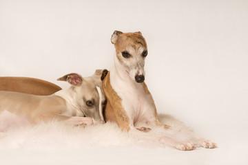Zwei süsse kuschelnde Hunde