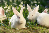 flock rabbits