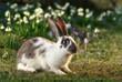 crossbreed rabbit