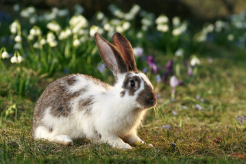 crossbreed rabbit