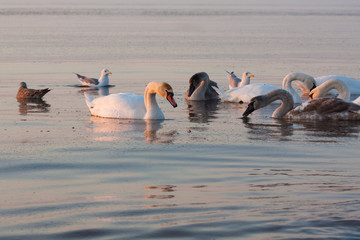 Swans in sea on sunrise in winter