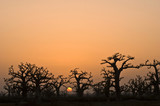 african sunset in baobab forest in senegal