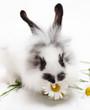 Leinwanddruck Bild Rabbit with chamomile