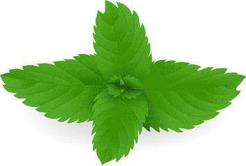 Fresh green mint leaves in vector format.