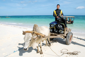 Scuba diver wearing wetsuit takes a ride with cow car