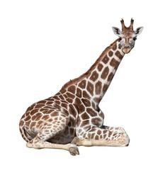 Giraffe on ground