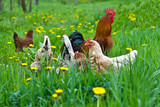 Hens and rooster - Fine Art prints