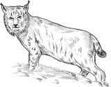 Eurasian lynx drawing poster