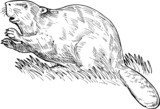 European beaver or Eurasian beaver poster