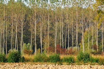 alberi 520