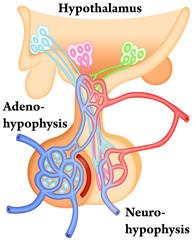 Hypothalamus-Hypophysis