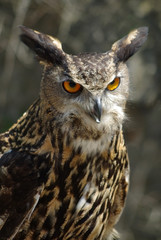 Portrait of an Eurasian Eagle Owl