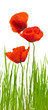 spring image with red poppies and grass, floral design banner