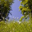 die Wiesen-Margerite auf der Frühlingswiese