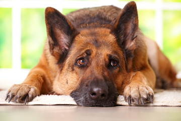 German shephard dog laying