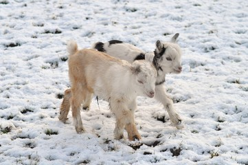 Baby lambs frollicking in snow