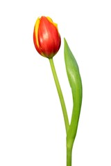 Blossoming red tulip on a white background
