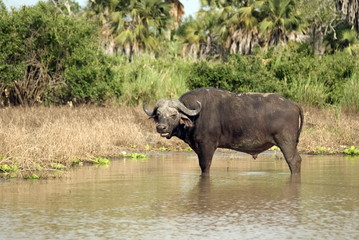 African buffalo, Selous National Park, Tanzania