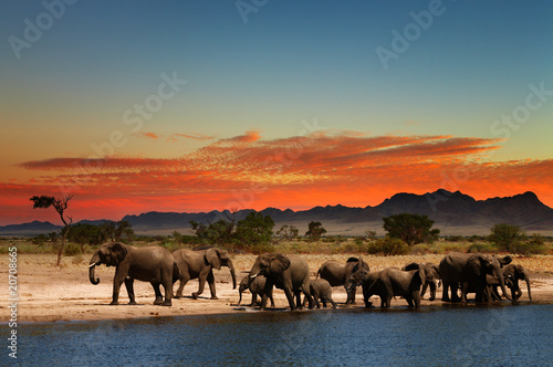 Poster Herd of elephants in african savanna