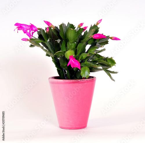 Fotobehang Cactus rosa Osterkaktus im Blumentopf