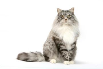 attitude digne et franche du chat des forêts norvégiennes